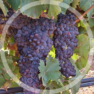frappato_circle-vini
