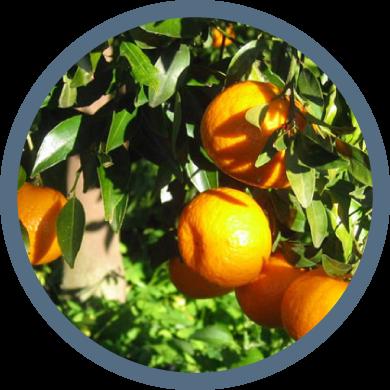 Mandarini Biologici Tardivi di Ciaculli